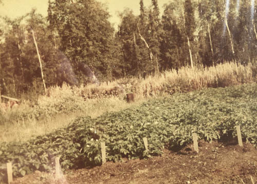 Potato patch in Arnold Muldoon garden, 1953.